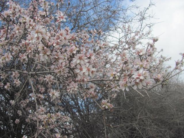 Doğa Çıldırdı, Bademler Çiçek Açtı!