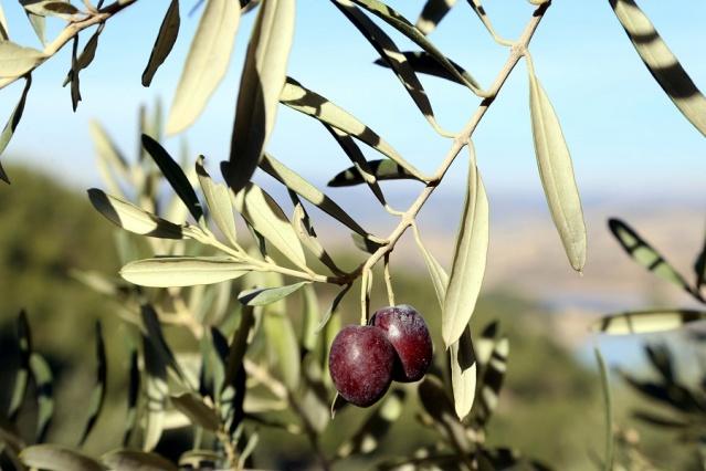 Zeytinin Yağa Dönüşüm Yolculuğu Başladı
