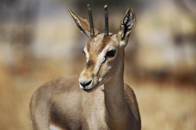 Gazella Gazella Ceylanı