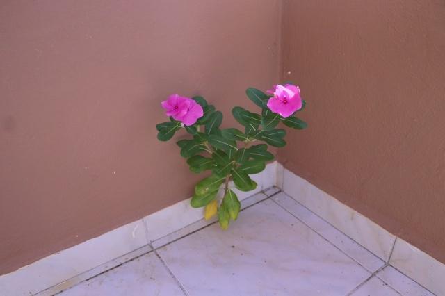 Balkon Duvarında Açan Çiçek
