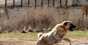 Sivas Kangal Köpeği