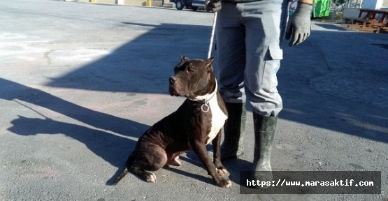 Pitbull ve Dogo Besleyenlere Ceza