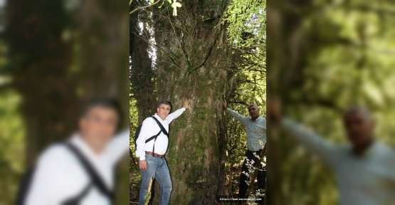 Kahramanmaraş'ta 2 Bin 800 Yaşında Ağaç