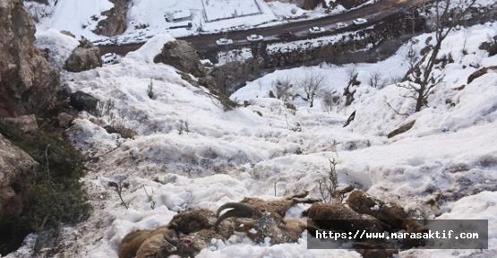 Dağ Keçileri Soğuktan Telef Oldu