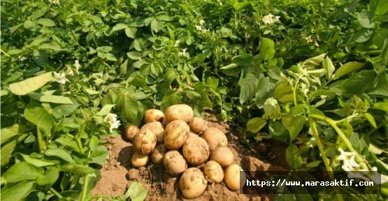 Patates Üretimi Yasaklandı mı?