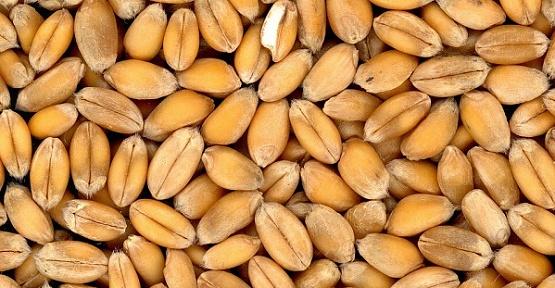 Buğday 1,30 Liradan Satıldı