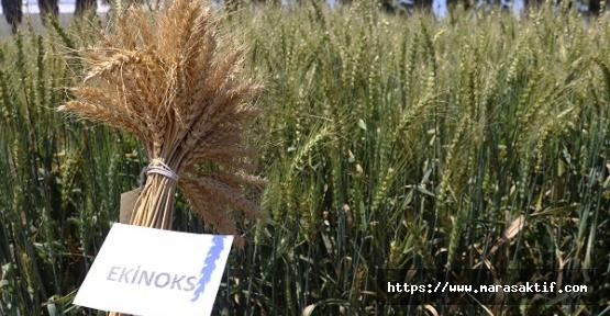Yeni Buğday Çeşitleri Üretildi