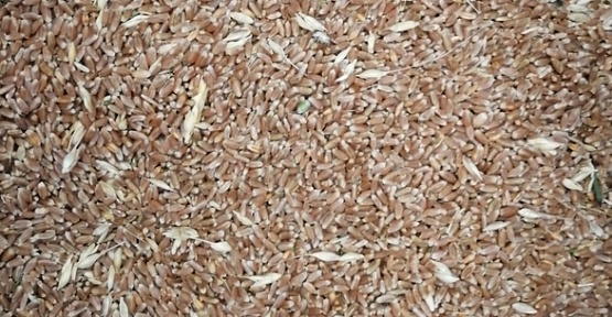 Buğday 1 Lira 90 Kuruş