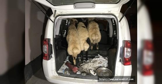 Koyunları Bırakıp Kaçtılar