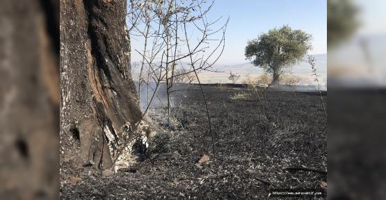 Ağcalı'da Zeytin Bahçesi Yandı