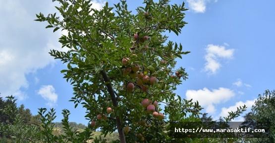 Elma Hasadı Başladı