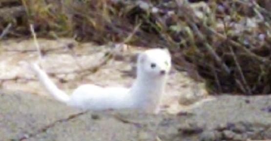 Beyaz Gelincik Kameraya Yakalandı