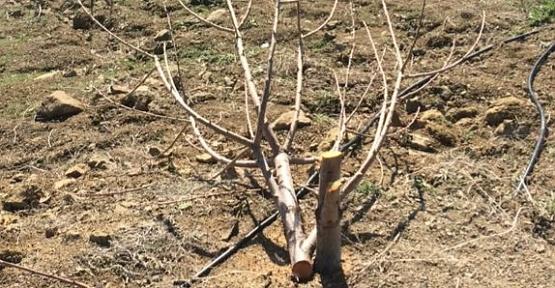 Kiraz Ağaçlarını Doğramışlar