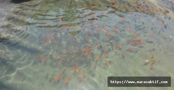 Kahramanmaraş'ta Japon Balığı Üretiliyor