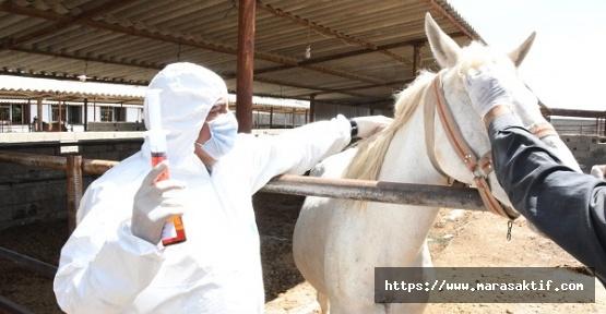 Atlardan Covid-19 İçin Antiserum Üretilecek