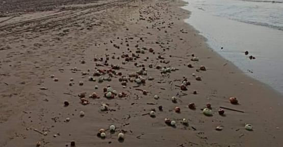 Sahildeki Soğanlar Şaşırttı