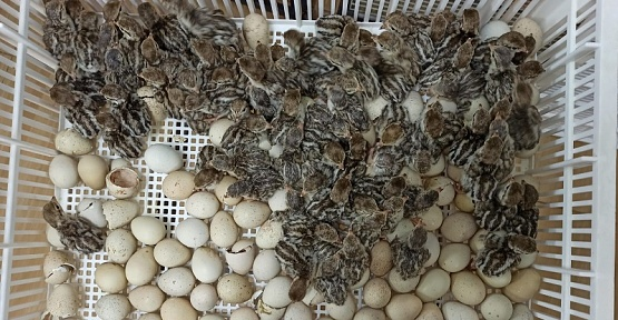 Kahramanmaraş Keklik Üretiminde Rekora Koşuyor