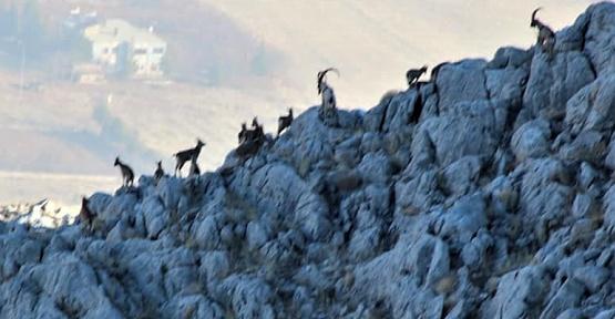 Yaban Keçileri Adım Adım Takip Ediliyor