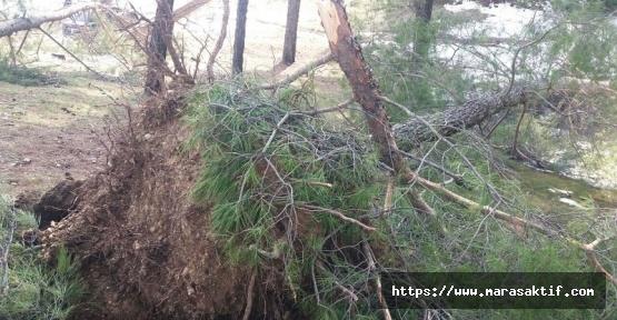 Şiddetli Rüzgâr ve Kar Çam Ağaçlarını Yerinden Söktü