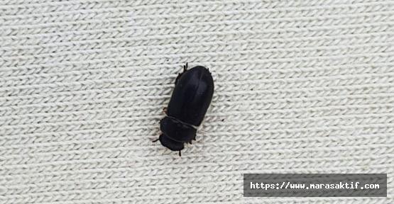Siyah Böcek ile Mücadele Sürüyor