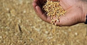 Buğday 1 Lira