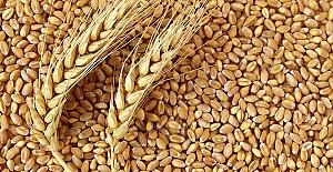 Buğday 1 Lira 24 Kuruş