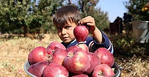 Göksun Elması Dünya Pazarında