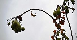 Kış Ayında İkinci Meyvesini Veriyor