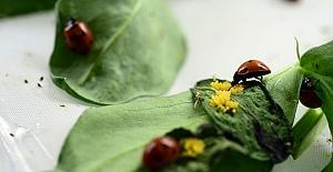Uğur Böcekleri Müzede Sergilenecek