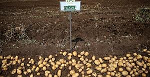 Yerli Patates Nahita