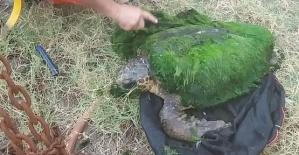 Kaplumbağa Yosun Tuttu
