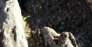 Dağ Keçileri Drone İle Görüntülendi