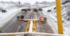 Nereden Çıktı Bu Domuzlar!