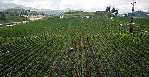 Çileğin Yüzde 70'i İhraç Edilecek