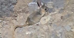 Bu Hayvan Kahramanmaraş'ta Görüldü