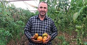 Türkoğlu Seralarında 30 Bin Ton Domatesi Üretiliyor